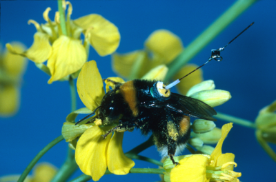 Micro transponder Harmonic radar. Image from Meadows R (2012) Understanding the Flight of the Bumblebee. PLoS Biol 10(9): e1001391. doi:10.1371/journal.pbio.1001391